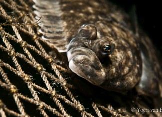 Bot (Platichthys flesus) - Foto: Yoeri van Es