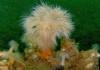 Zeeanjelier in Bretagna - Foto: Harry Brummelhuis