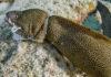 Murene verstrengeld in vislijnen - Foto: Yoeri van Es