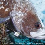Zeebaars vast in een vislijn - Foto: Yoeri van Es