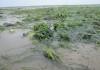 Zeegras in de Waddenzee bij laag water - Foto: NIOZ