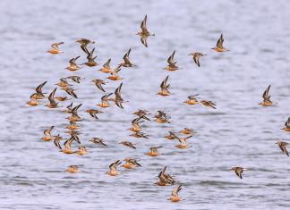 Een vlucht kanoeten in de Waddenzee - Foto: Jan van de Kam