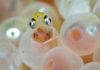 Zeedonderpadden kruipen uit ei - Foto: Ron Offermans
