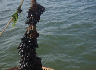 Sepia-eieren op een mondje mosselen in de Waddenzee - Foto: Nico Laros / Waddenunit