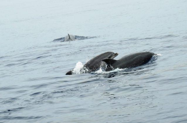 Gewone dolfijnen bij de Azoren - Foto: Harry Brummelhuis