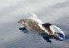 Gewone dolfijn bij de Azoren - Foto: Harry Brummelhuis