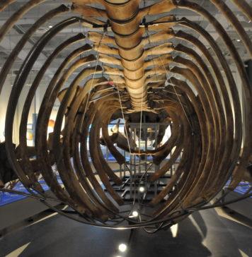 Skelet van een blauwe vinvis in het Museum of Nature in Ottowa, Canada