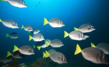 Razor surgeonfish (Prionurus laticlavius) - Foto: Laszlo Ilyes