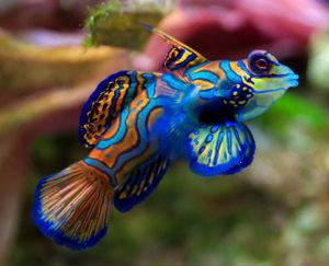Mandarijnpitvis