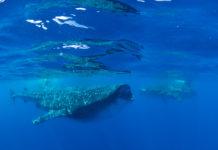 Walvishaaien bij Isla Mujeres, Mexico - Foto: Brian Lauer / CC BY 2.0