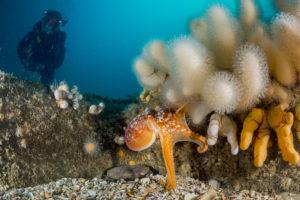Octopus op Doggersbank - Foto: Udo van Dongen