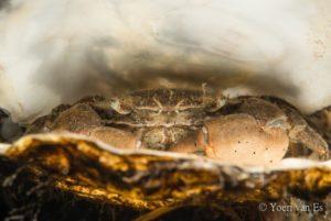 Penseelkrab (Hemigrapsus penicilatus) - Foto: Yoeri van Es