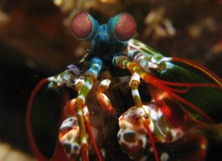 Mantisgarnaal (Odontodactylus scyllarus) - Foto: Silke Baron / CC BY 2.0