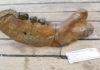 Onderkaak walrus uit collectie NMR - Foto: VLIZ