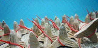 Zaai-units klaar om uitgezaaid te worden door het onderzoeksteam bij CARMABI Marine Research Station in Curacao - Foto: SECORE International / Kelly Latjinhouwers