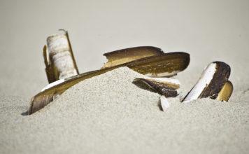Schelpen op het strand - Amerikaanse zwaardschede - Foto: Lucas de Vries / CC BY 2.0