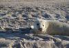Jonge grijze zeehond op het strand van Vlieland - Foto: Tjerk Zweers / CC BY 2.0