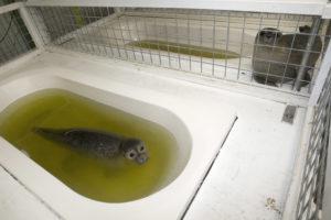 Zeehonden in de opvang van Lenie 't Hart - Foto: Jos / CC BY 2.0