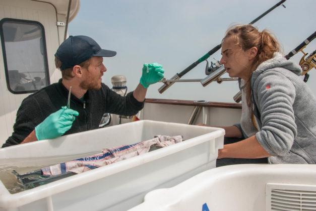 Onderzoekers nemen sample van zeebaars- Foto: VLIZ