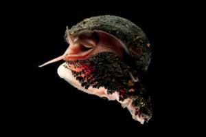 Schubvoetslak (Chrysomallon-squamiferum) - Foto: David Shale / CC NC SA