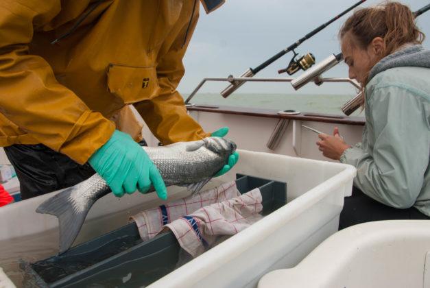 Zeebaars krijgt zender onder narcose - Foto: VLIZ