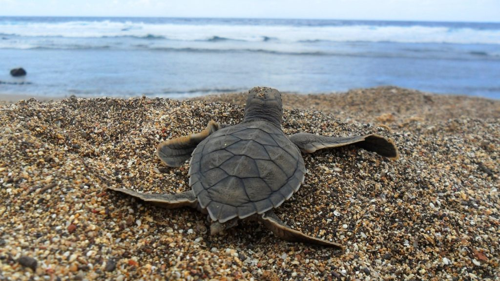 uitgekUitgekomen jonge zeeschildpad - Foto: Projeto Tamaromen-jonge-zeeschildpad-foto-projeto-tamar
