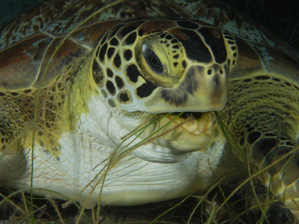Zeeschildpad van nabij- Foto: R.D. en B.S. Kirkby