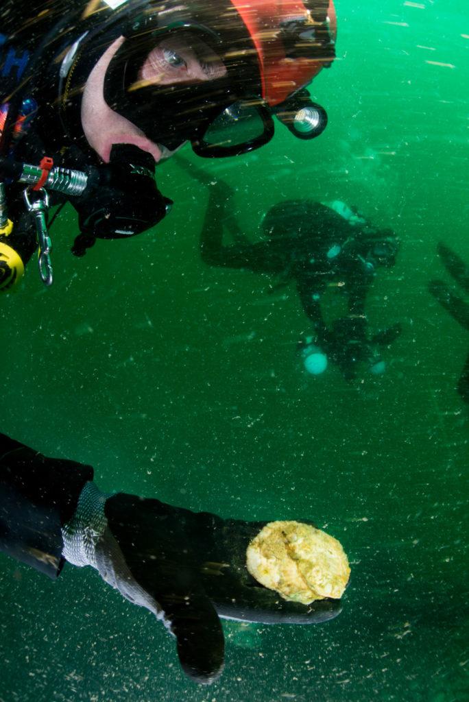 Duiker met platte oester - Foto: Joost van Uffelen