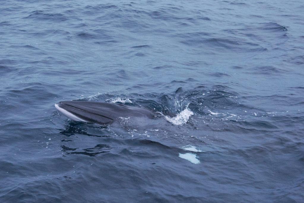Dwergvinvis in de Noordzee - foto: Martijn Spierenburg